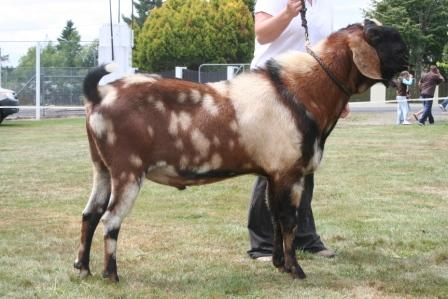 Already nubian goat sperm for sale Thanks!