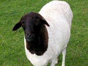 Blackheaded Persian 1